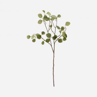 Eucalyptus kvist